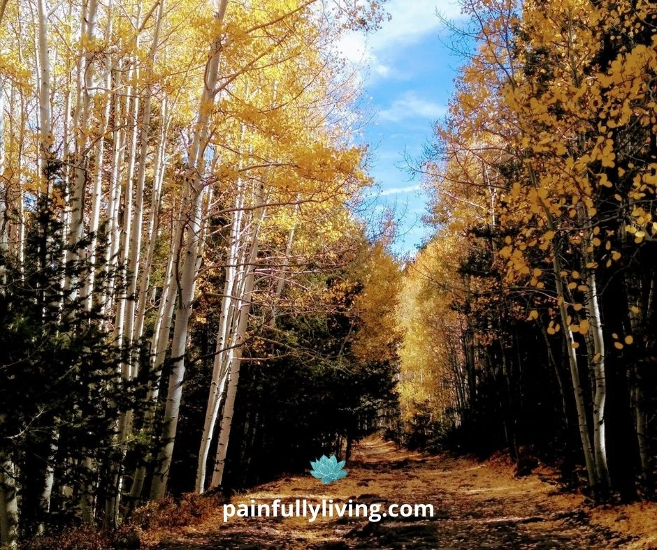 A dirt  two-track covered by golden aspen leaves going through the middle off into the distance.  On either side, white aspen tree trunks, their branches still holding onto golden round leave, lit up by the sunny blue sky.  Green pine fill in the lower portion under the aspens.